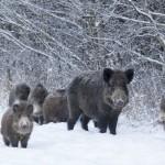 Šernas (lot. Sus scrofa, angl. Wild boar, vok. Wildschwein) – kiaulinių (Suidae) šeimos žinduolis, priklausantis porakanopių (Artiodactyla) būriui.