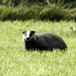 Barsukas arba opšrus (lot. Meles meles, angl. Eurasian Badger, vok. Der Dachs, rus. Барсук) – stambiausias kiauninių šeimos atstovas.