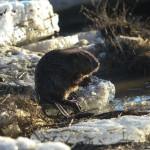 Upinis bebras (lot. Castor fiber, angl. European beaver, vok. Biber) – Castoridae šeimos, stambiausias Lietuvos graužikas.