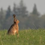 Pilkasis kiškis, kiškis (lot. Lepus europaeus, angl. European Hare, vok. Feldhase), dažn. zuikis – kiškinių (Leporidae) šeimos žinduolis.