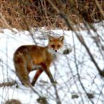 Rudoji lapė (lot. Vulpes vulpes, angl. Red Fox, vok. Rotfuchs) – šuninių (Canidae) šeimos žinduolis.
