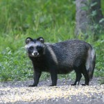 Usūrinis šuo arba mangutas (lot. Nyctereutes procyonoides, angl. raccoon dog, vok. Marderhund, rus. Енотовидная собака) – šuninių (Canidae) šeimos žinduolis.