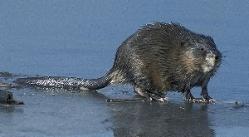 Ondatros (lot. Ondatra) – stambūs, vandenyje gyvenantys žiurkėninių (Cricetidae) šeimos graužikai, kuriems priklauso vienintelė rūšis gentyje – ondatra (Ondatra zibethica).