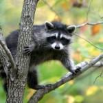 Paprastasis meškėnas (lot. Procyon lotor, angl. Common raccoon, vok. Nordamerikanischer Waschbär) – meškėninių (Procyonidae) šeimos žinduolis.