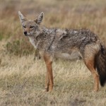 Paprastasis šakalas (lot. Canis aureus, angl. Golden Jackal, vok. Goldschakal) – plėšriųjų žinduolių (Carnivora) būrio, šuninių Paprastasis šakalas (Canidae) šeimos žinduolis.