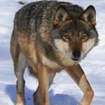 Pilkasis vilkas (lot. Canis lupus, angl. Grey Wolf, vok. Wolf) – stambiausias iš visų laukinių šuninių (Canidae) šeimos.